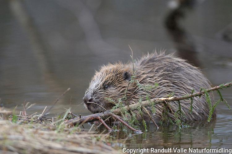 Bever og gran ---- Beaver and spruce
