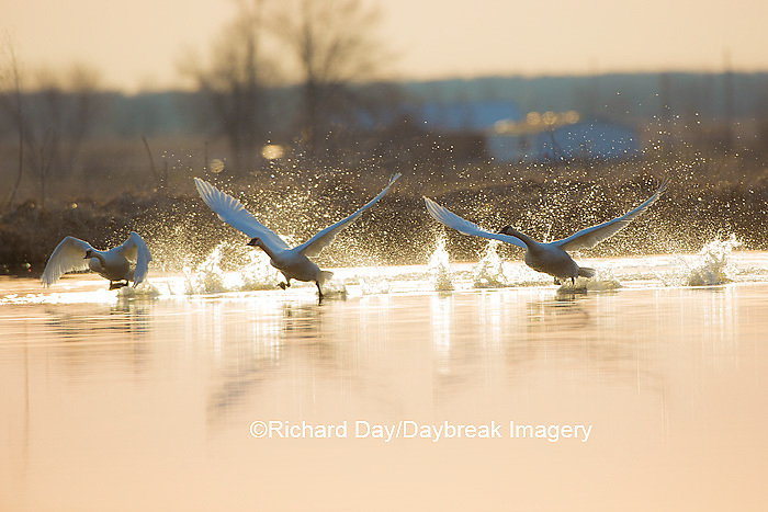 00758-01515 Trumpeter Swans (Cygnus buccinator) flying from wetland at sunrise, Marion Co., IL