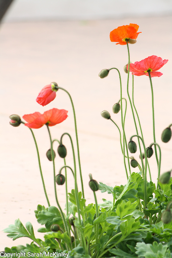 Orange and pink oriental poppies growing at Mondavi Vineyard in Oakville in Napa County in Northern California.