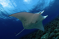 This young manta ray [Manta birostris] circled the same area of reef hesitating near a cleaning station to be attended to by several species of reef fish. Hawaii.