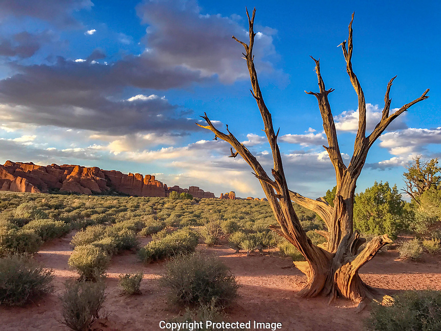 Juniper and Devils Garden, Arches National Park, Utah  Juniperis osteospermosa.