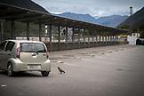 NEW ZEALAND, Arthurs Pass, A Kea inspects a Car in Arthurs Pass, Ben M Thomas