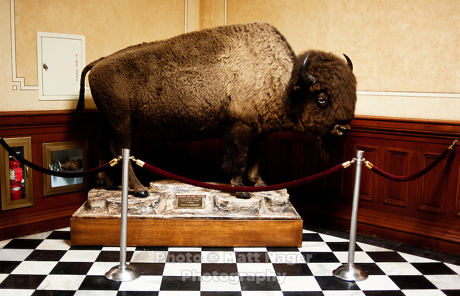 A stuffed buffalo inside the State Capital building of Wyoming in Cheyenne, Wyoming, Thursday, June 2, 2011.  ..Photo by Matt Nager