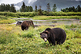 USA, Alaska, Girdwood, brown grizzley bears roaming inside of Alaska Wildlife Conservation Center
