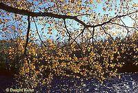 AU09-004a  Oak - fall leaves near stream.