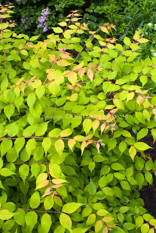 Kolkwitzia amabilis Dreamcatcher ('Maradco')  in spring foliage colors emerging new growth