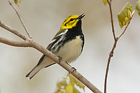 Singing male Black-throated Green Warbler (Dendroica virens) in breeding plumage. Tompkins County, New York. May.