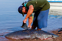 Shark fishing, shark finning, Shark finning, Mako shark, Isurus oxyrinchus, Sea of Cortez, Mexico, Pacific Ocean