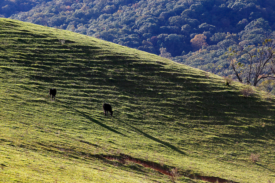 Cows graze in a pasture near the Blue Ridge Parkway in Nelson County,  VA. Photo/Andrew Shurtleff