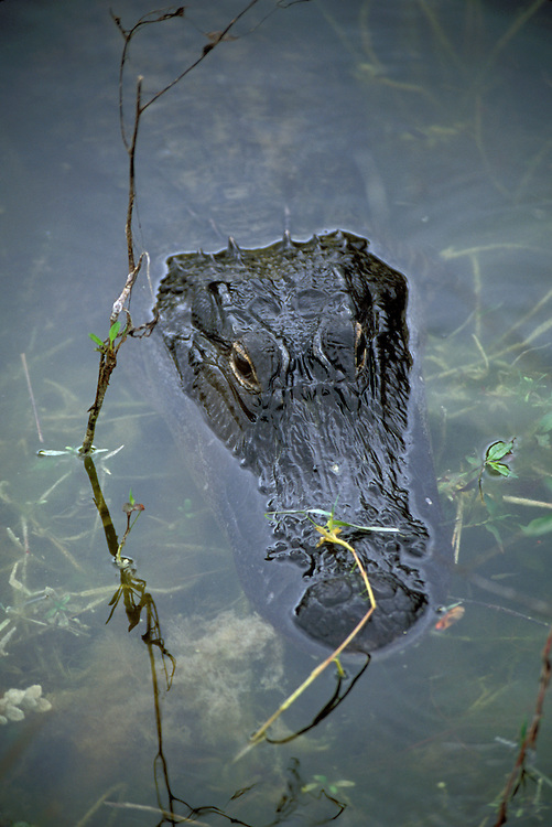 FL: Florida Everglades National Park, alligator.Photo Copyright: Lee Foster, lee@fostertravel.com, www.fostertravel.com, (510) 549-2202.Image: flever262