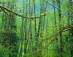 Early spring greens in a mossy forest of bigleaf maple (Acer macrophyllum) and red alder (Alnus rubra) in the Sauk River Valley - Mountain Loop Highway