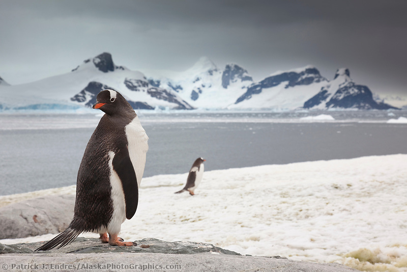 Gentoo penguins, Peterman Island, western Antarctic Peninsula.