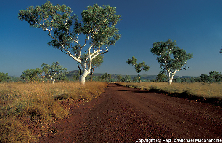 River Red Gums, Eucalpptus camaldule, Western Australia, road through landscape