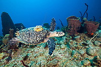 Hawksbill Turtle tagged with Transmitter, Eretmochelys imbricata, Dominica, Caribbean, Atlantic