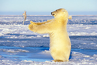 polar bear, Ursus maritimus, young bear playing with a seagull wing on the pack ice, 1002 coastal plain of the Arctic National Wildlife Refuge, Alaska, polar bear, Ursus maritimus