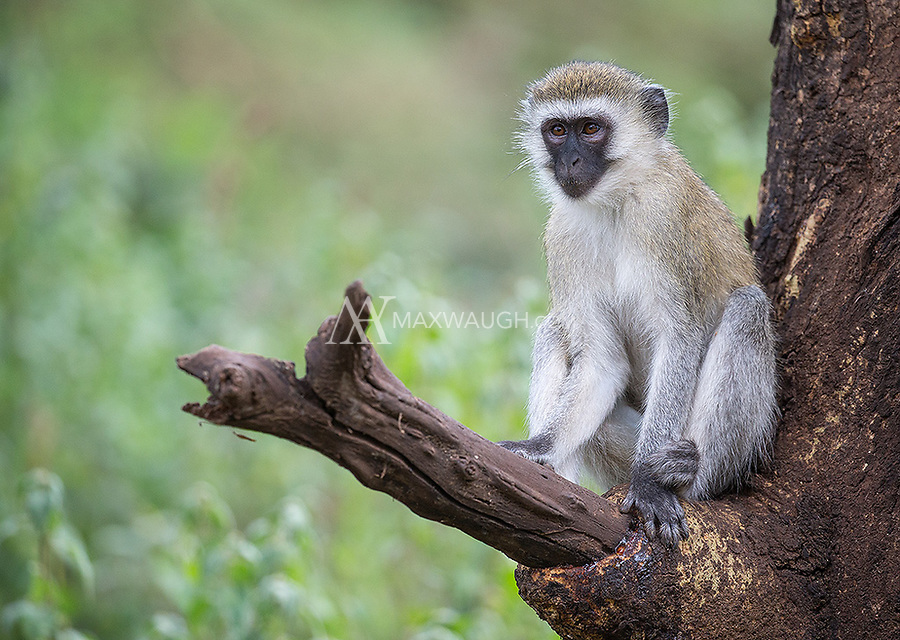 We had some nice encounters with vervets in Lake Manyara National Park.