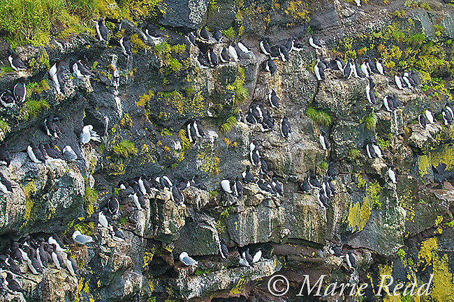 Thick-billed Murres (Uria lomvia), nesting and roosting on cliff face, Ridge Wall, St. Paul Island, Pribilofs, Alaska, USA
