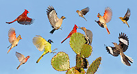 Cardinal, Mockingbird, Green Jay, House Finch, Pine Warbler, Golden-fronted Woodpecker, Chipping Sparrow, Birds landing on Texas Prickly Pear Cactus (Opuntia lindheimeri), Dinero, Lake Corpus Christi, South Texas, USA, DIGITAL COMPOSITE