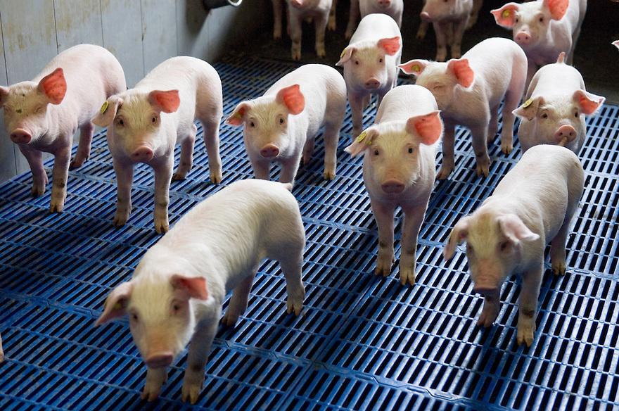 Nederland, Nijmgen, 02 april 2008.Varkenshouderij. Gangbaar bedrijf met varkens op kunststof roosters. .Jonge biggen die vrolijk de camera inkijken..Foto (c) Michiel Wijnbergh