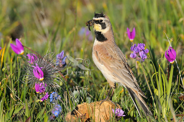 Male Horned Lark or Shore Lark (Eremophila alpestris) with mouthful of insects he is taking back to his young in the nest.  Western U.S., Summer.