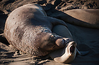 Adult male Northern Elephant seals (Mirounga angustirostris) mates with female on beach; Piedras Blancas; San Simeon; California