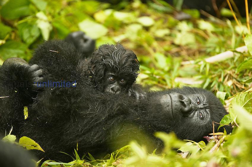 Mountain Gorilla ,Gorilla gorilla beringei, in Volcanoes National Park, Rwanda.