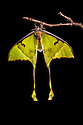 African Moon Moth (Argema mimosae) captive, orginating from Africa. website