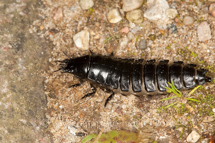 Lederlaufkäfer, Leder-Laufkäfer, Lederkäfer, Larve, Carabus coriaceus, leatherback ground beetle, leather beetle