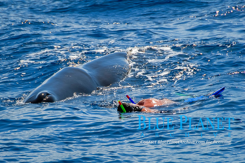 Sperm whale. (Physeter macrocephalus). A very quiet sperm whale watches two swimmers watching it. Caribbean. (mr)