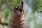 Coati with mouth open