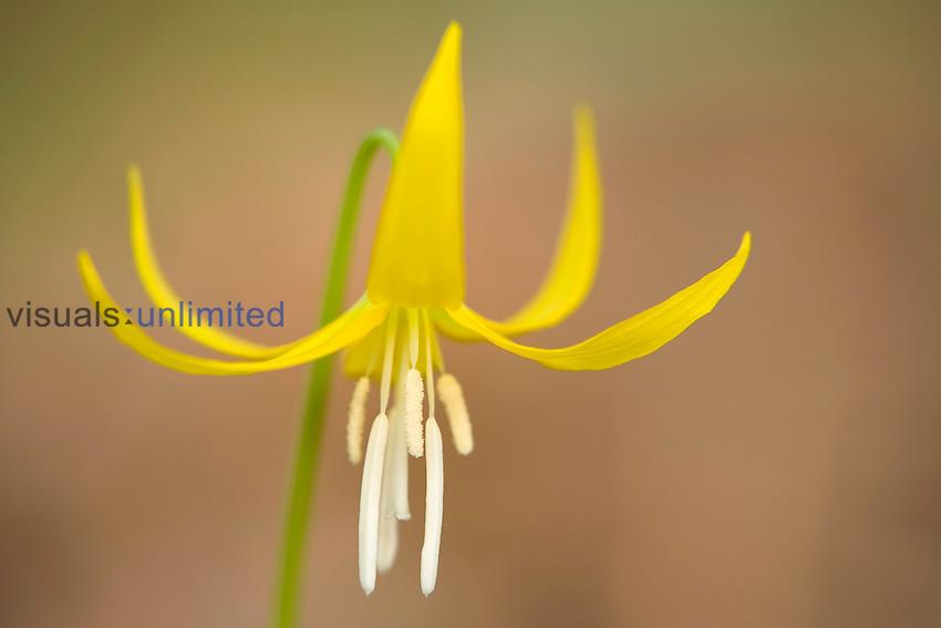 Glacier Lily (Erythronium grandiflorum) spring wildflower, Columbia River Gorge, Oregon, USA.