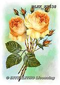 Kris, FLOWERS, BLUMEN, FLORES, paintings+++++,PLKKK3538,#f#, EVERYDAY ,rose,roses