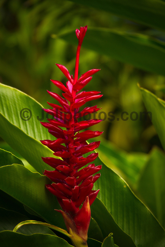 Ginger flower. Thursday August 19, 2010. Teahupo'o Tahiti, French Polynesia.  Photo: joliphotos.com