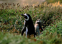 MEGALLANIC PENGUIN parent with baby chick at the SENO OTWAY COLONY (50,000 breeding pairs) - PATAGONIA, CHILE