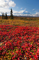 Red Bearberry and the summit of Denali, Denali National Park, Alaska.