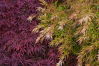 Acer palmatum 'Shigure Bato', green foliage Japanese maple tree with purple foliage Acer palmatum ' Tamukeyama'