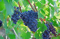 Bunches of Pinot Noir grapes in the Irancy village in northern Bourgogne