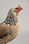 Silver Penciled Wyandotte Hen Chicken on white background.
