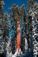 """Sequoia National Park in winter with snow covered trees. """"General Sherman"""" tree: world's largest living thing. California"""