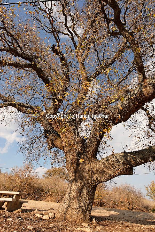 Israel, the Lower Galilee. Mount Tabor Oak tree (qyercus ithaburensis) in Beth Keshet<br />