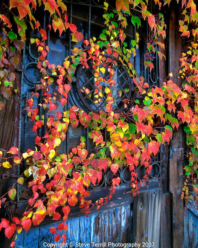 Ivy on old door