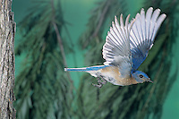 Eastern Bluebird, Sialia sialis, male in flight, Willacy County, Rio Grande Valley, Texas, USA, April 2004