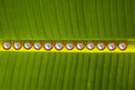 A dozen golden pearls on a banana leaf