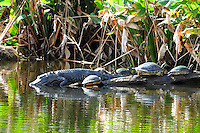 Mid Afternoon at Wakodahatchee Wetlands,Delray Beach, Florida. Alligator and turtles do not appear  concerned about each other's presence.