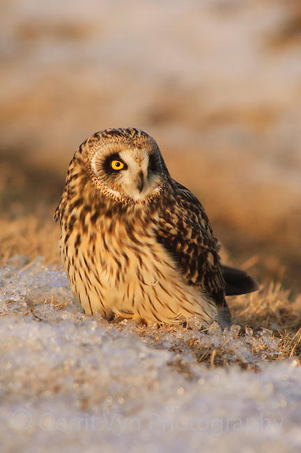 Adult Short-eared Owl (Asio flammeus). Jefferson County, New York. March.
