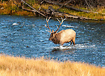 A Bull Elk crossing the river, approaching a cow during the rut