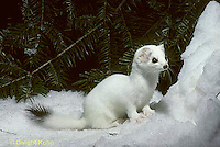 MA06-096x  Short-Tailed Weasel - exploring forest for prey in winter, camouflagued - Mustela erminea