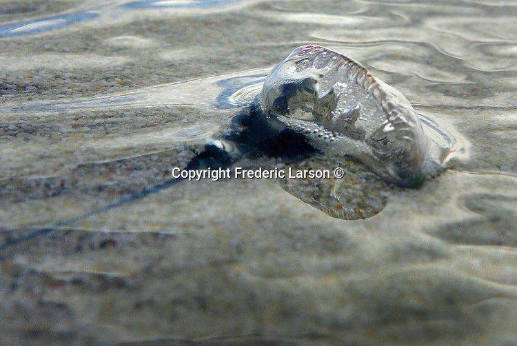 The tide and the Portuguese Man O' War jellyfish our out at Kailua Beach in Hawaii,