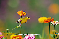 01640-11720 American Goldfinch (Carduelis tristis) male on Zinnias in garden Marion Co. IL