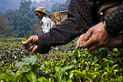 A tea picker shows the bud of the tea leaf while plucking the first flush leaves at the Makaibari Tea estate, in Darjeeling, India.